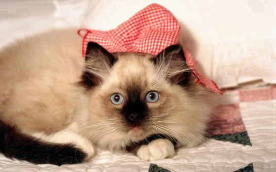 обои, котята, котенок, фото, одеяло, обоев, сиамск