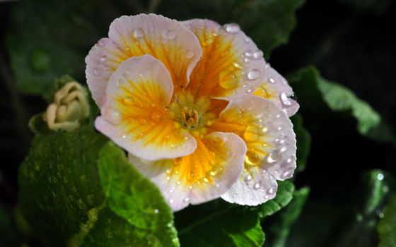 цветы, мокрые, фиалки