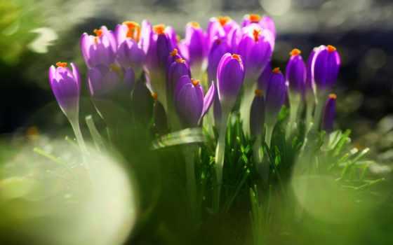 первоцвет, цветы, крокусы