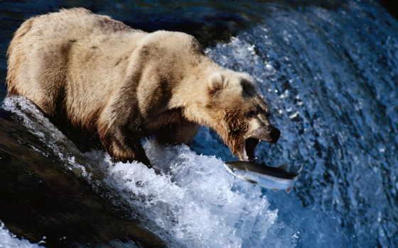 медведь, рыбу, ловит