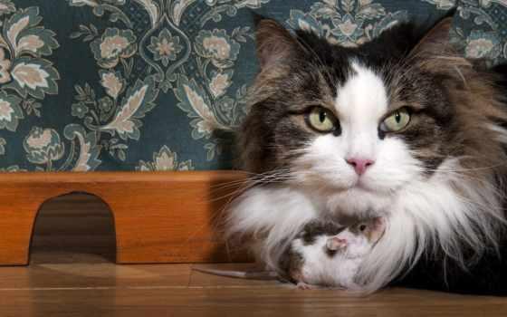 кошки, zhivotnye, картинка, мыши, взгляд, котята, два, разные, вместе, собаки, bulldog,