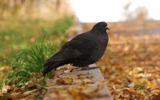 голубь, осень, птица, листва, тропинка, птицы,