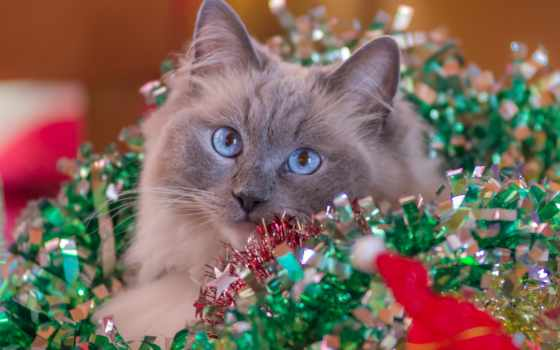 crăciun, позе, flickr, frumoase, cu, ро, кошки, cats, pentru, urări, craciun,