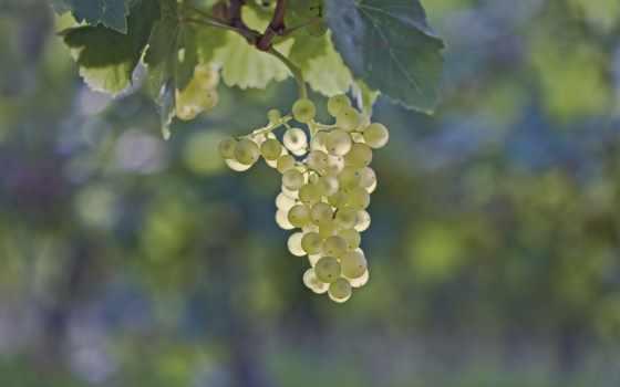 скопление, картинка, виноградная, виноград, ягода, макро, листва,