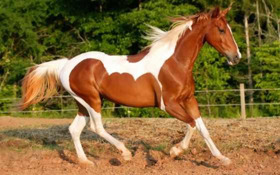 лошади, лошадь