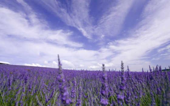 поля, прованса, лавандовые, лавандовых, полей, места, красоте, широкую,