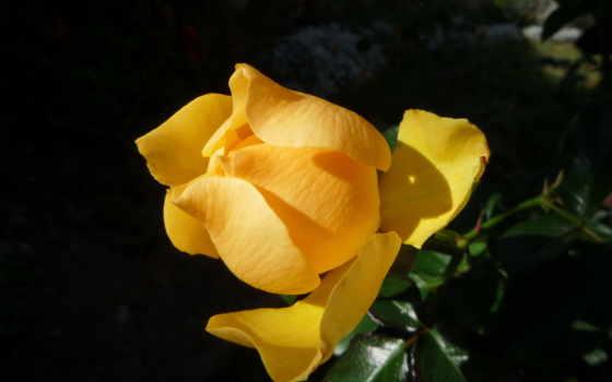 цветы, yellow, розы Фон № 56687 разрешение 2592x1944