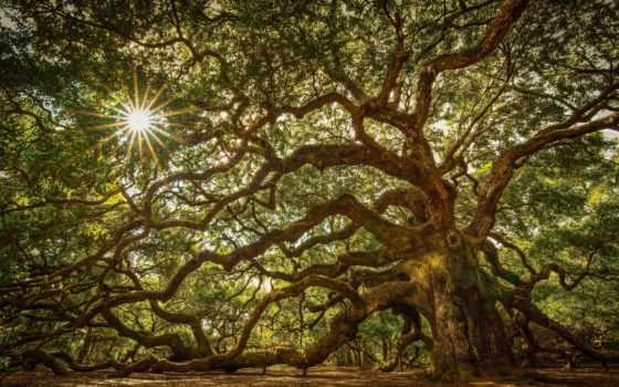 дерево, дуб, природа