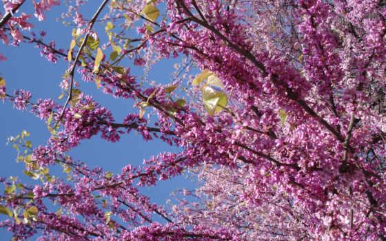 vesna, cvety, голубое, небо, siren,