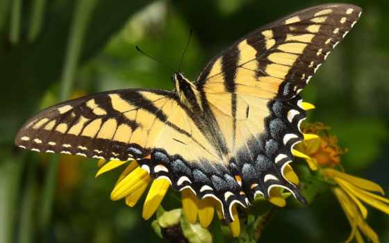 бабочка, лету, makro