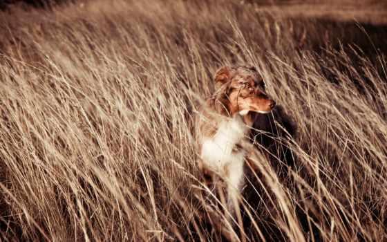 собака, поле, друг, ветер, дек,