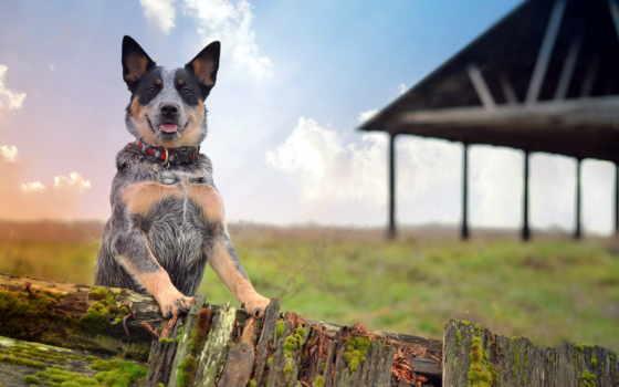 собака, fennec, photos, коровы, australian, австралийская, browse, picssr, flickr,