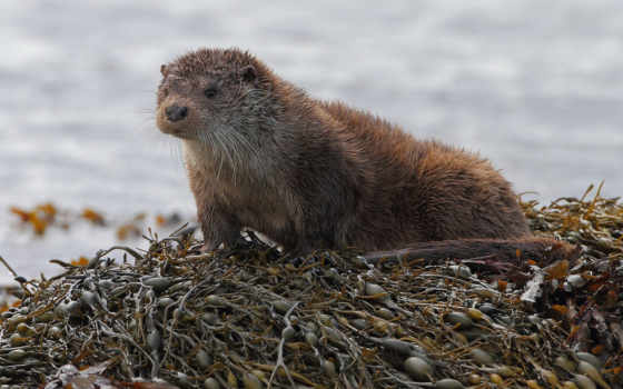 otter, речная, ipod, lontra, source, волк,