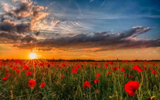 рассвет, поле, cvety