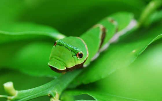 гусеница, зелёный, animal, pictures, desktop, scraper, top,