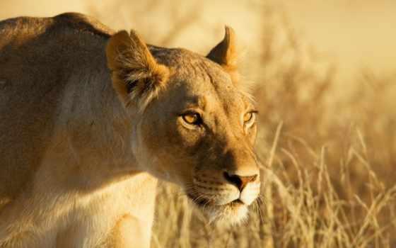 leoa, parede, papéis, leão, caça, grama, predador, imagens, львица, fundo, lion,