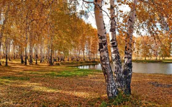 березы, осень, trees, природа, park, пруд, лес, озеро,
