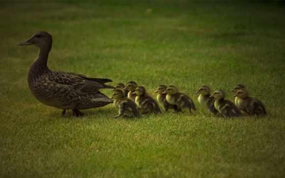 обои, утка, птицы, птица, утки, утята, выводок, жи