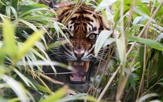 тигр, хищник, агрессия, ухмылка, трава, пасть, клыки,