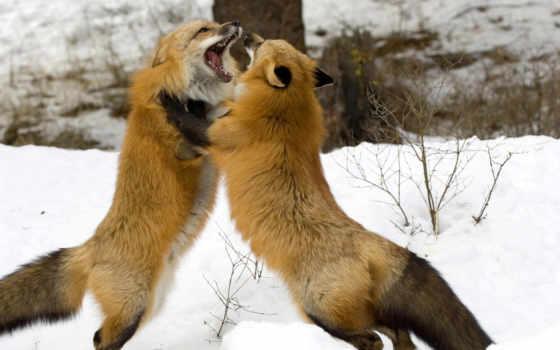 фокс, лисы, картинка, лисицы, трава, browse,