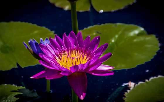 кувшинка, cvety, водяная