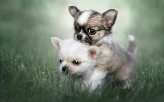 щенок, животное, собака, dva, трава, parochka, чихуахуа, играть, bok, собака, порода