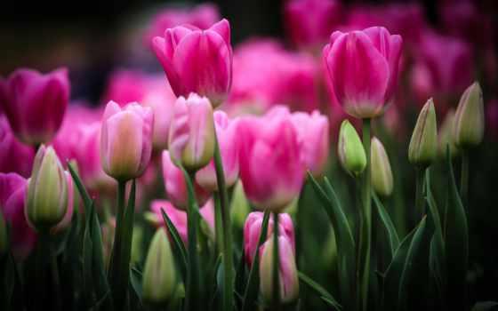 тюльпаны, цветы, розовые