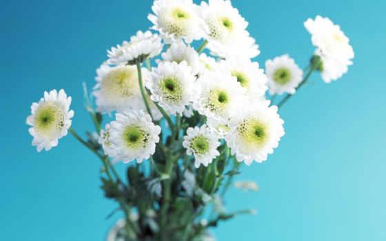 хризантемы, белые, flowers