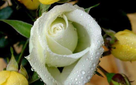 розы, белые, красивые