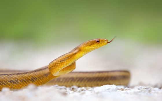 snake, zhivotnye, взгляд, красивая, желтая, шкала, банка, рептилии,
