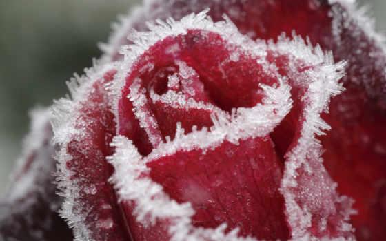 роза, макро, замёрзшая, розы, иней,