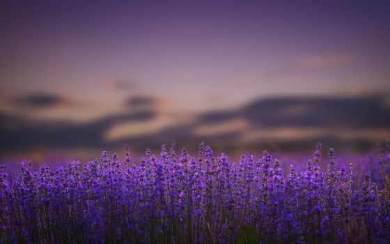 lavender, cvety, лаванды, летнюю, цветет, пору, deception, optical, сиреневые,