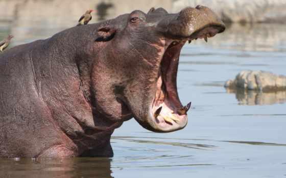 behemoth, бегемоты, яndex