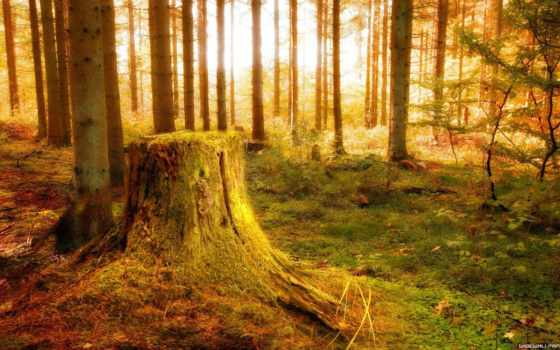 stump, лес, ссылка, лучи, осень,