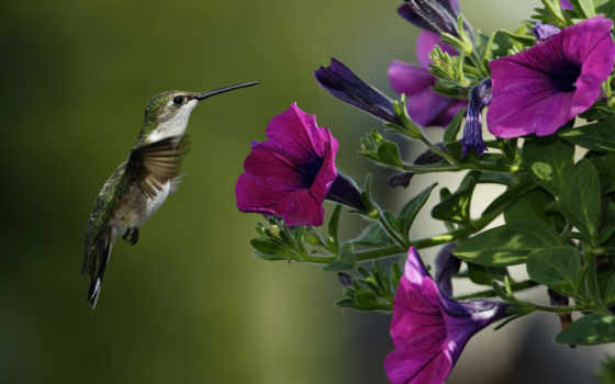 колибри, птица, макро