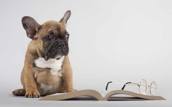 собака, книга, очки, друг, labrador,