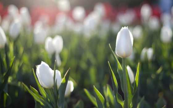 тюльпаны, белые, клумба, sun, flare, весна,
