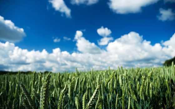колоски, поле, небо, природа, oblaka, растения, зелёный, день, summer,
