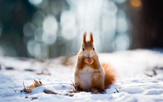 eichhörnchen, winter, tiere