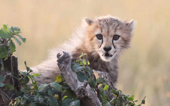 гепард, хищник, морда, browse, страница, кот, spotted, большая, ложь,