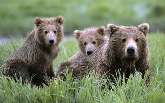 медвежата, медведь, медвежат, бурые, медведицей, фоны, медведей, изображения, медвежатами, браун,