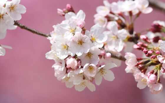 цветы, сакур, cherry, japanese, лепесток, Сакура, розовый, весна, лепестки