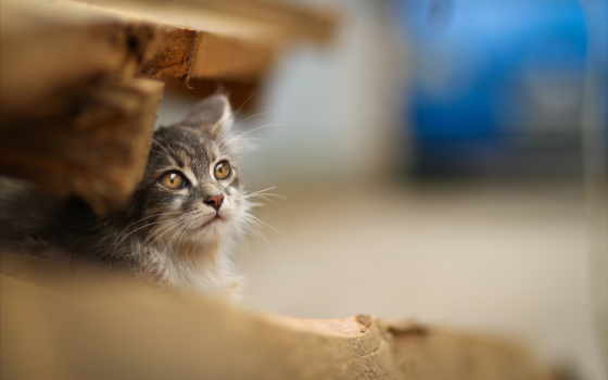 кошки, cats, картинка, cat, животные, размытость, сидеть, морда, взгляд, доски,