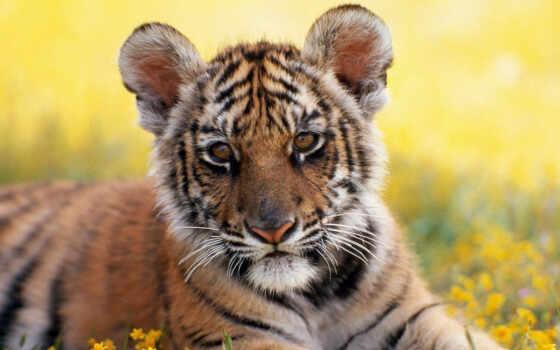 тигры, тигр, животные