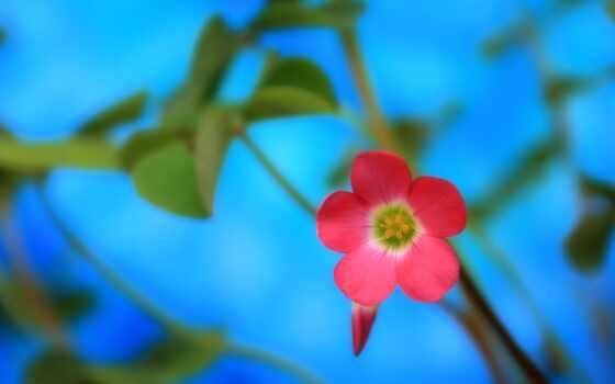 цветы, природа, розовый
