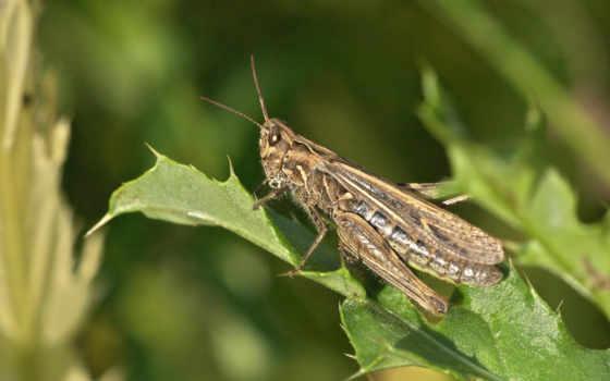 locust, кузнечики, животные