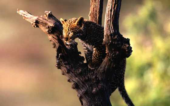 леопард, леопарда, african, котенок, perched, фотографий,