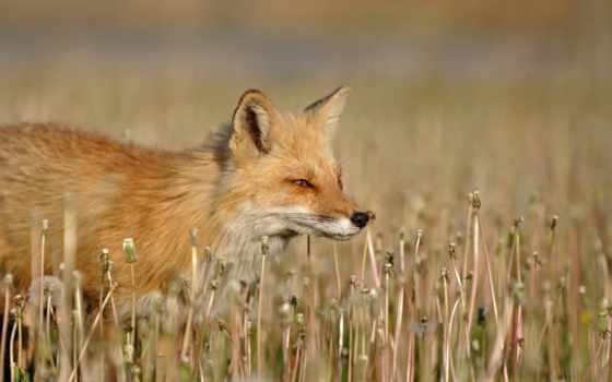 лиза, foxy