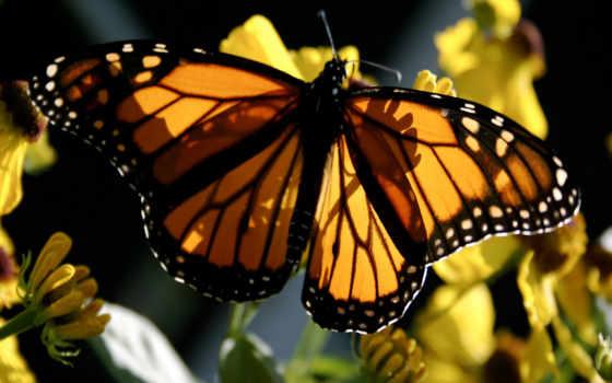 бабочка, yellow, монарх