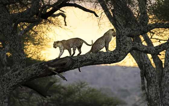 леопард, дерево, дереве